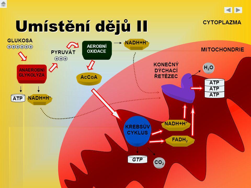 Umístění dějů II CYTOPLAZMA MITOCHONDRIE GLUKOSA NADH+H+ PYRUVÁT