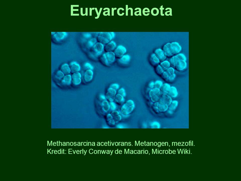Euryarchaeota Methanosarcina acetivorans. Metanogen, mezofil.