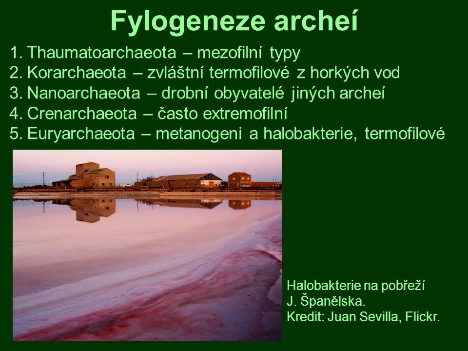 Fylogeneze archeí Thaumatoarchaeota – mezofilní typy