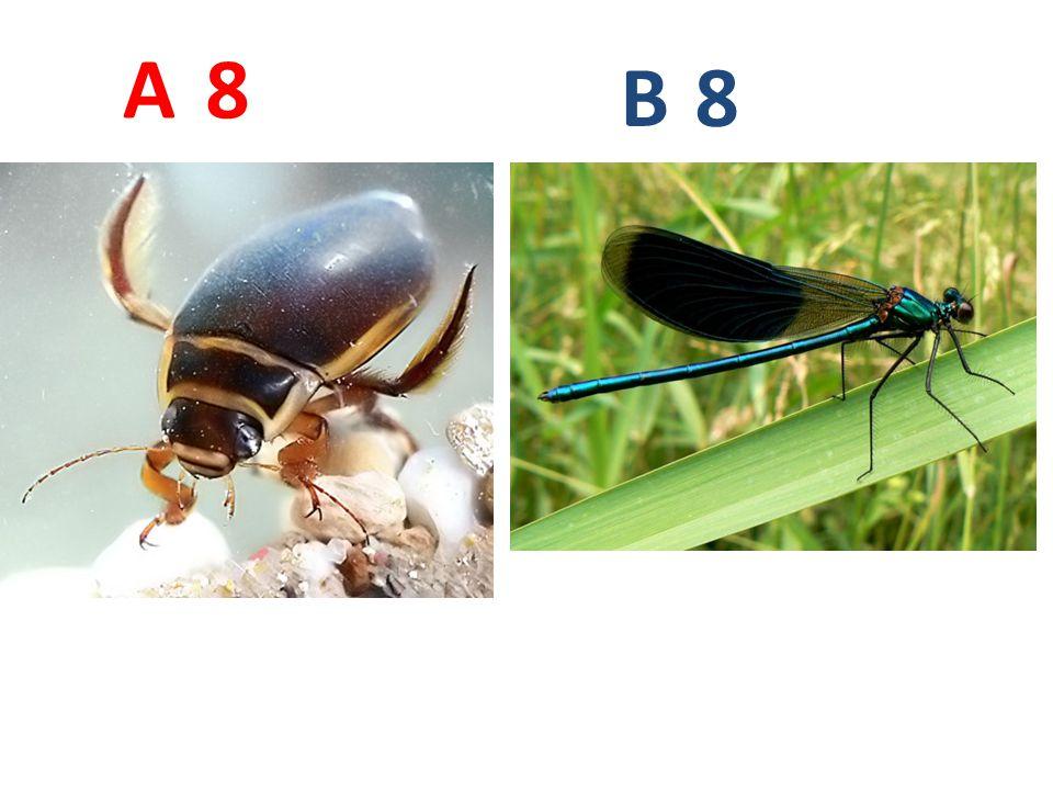A B. 8. A8: potápník vroubený, vzdušnicovci, hmyz, brouci, http://www.biolib.cz/IMG/GAL/21872.jpg.