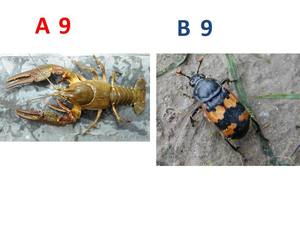 A B 9 A9: rak říční, korýši, http://www.biolib.cz/IMG/GAL/69956.jpg