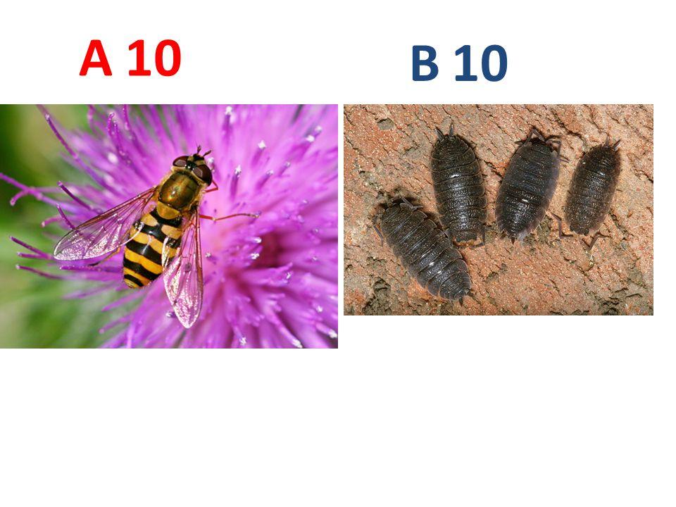 A B. 10. A10: pestřenka rybízová, vzdušnicovci, hmyz, dvoukřídlí, http://www.biolib.cz/IMG/GAL/38162.jpg.