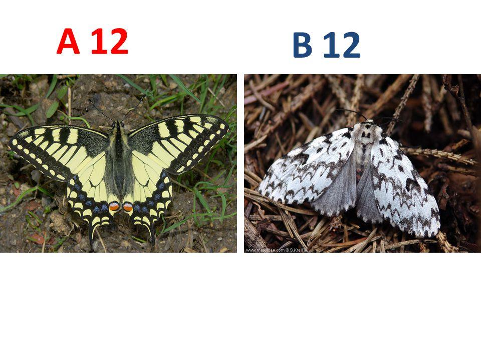 A B. 12. A12: otakárek fenyklový, vzdušnicovci, hmyz, motýli, http://www.biolib.cz/IMG/GAL/20368.jpg.