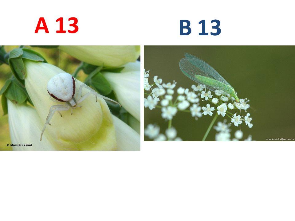A B. 13. A13: běžník kopretinový, pavoukovci, pavouci, http://www.biolib.cz/IMG/GAL/4664.jpg.