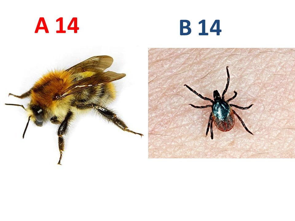 A B. 14. A14: čmelák polní, vzdušnicovci, hmyz, blanokřídlí, http://www.biolib.cz/IMG/GAL/23409.jpg.