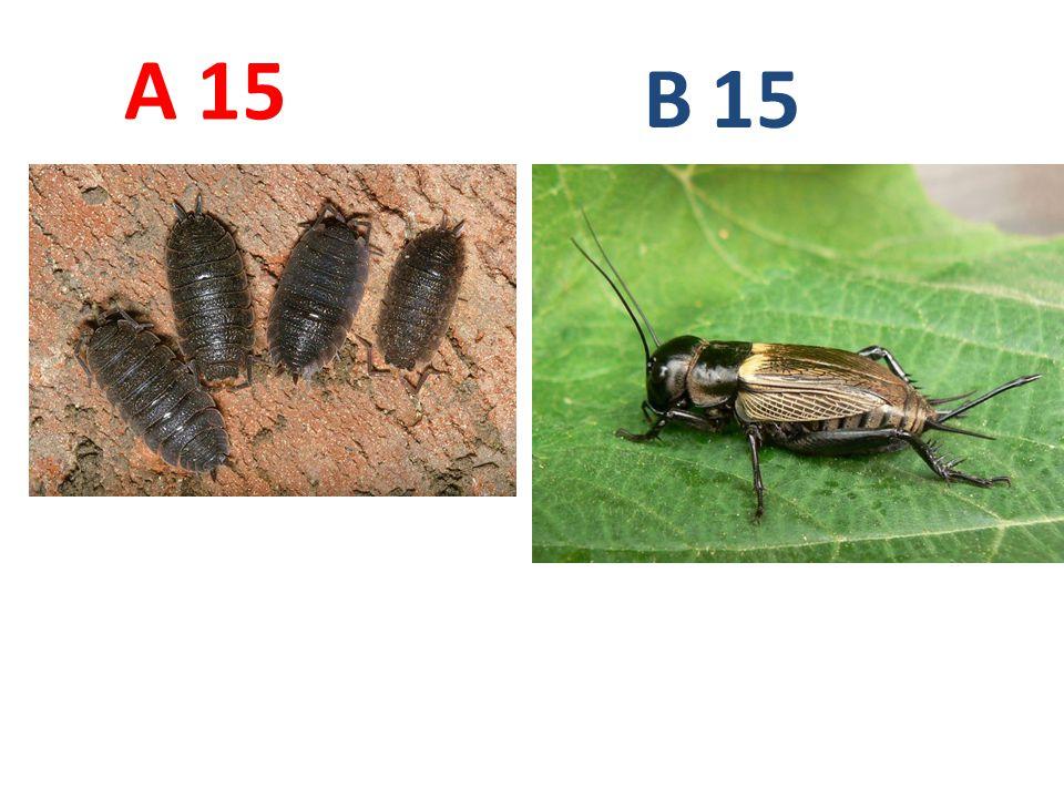 A B. 15. A15: stínka obecná, korýši, http://www.biolib.cz/IMG/GAL/11746.jpg.