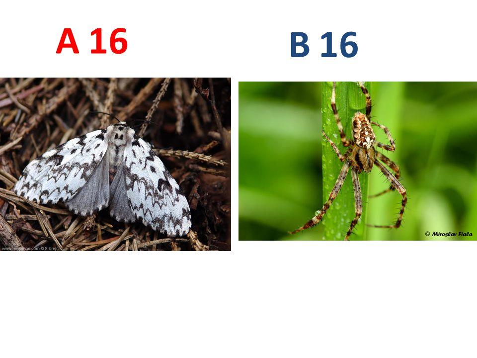A B. 16. A16: bekyně mniška, vzdušnicovci, hmyz, motýli, http://www.biolib.cz/IMG/GAL/33973.jpg.