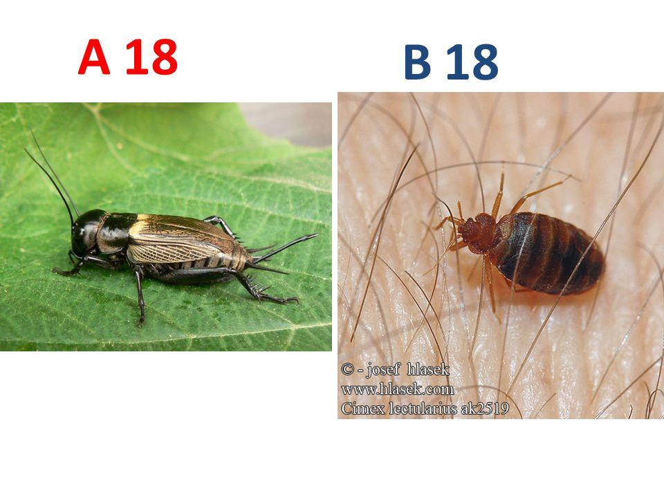 A B. 18. A18: cvrček polní, vzdušnicovci, hmyz, rovnokřídlí, http://www.biolib.cz/IMG/GAL/87814.jpg.