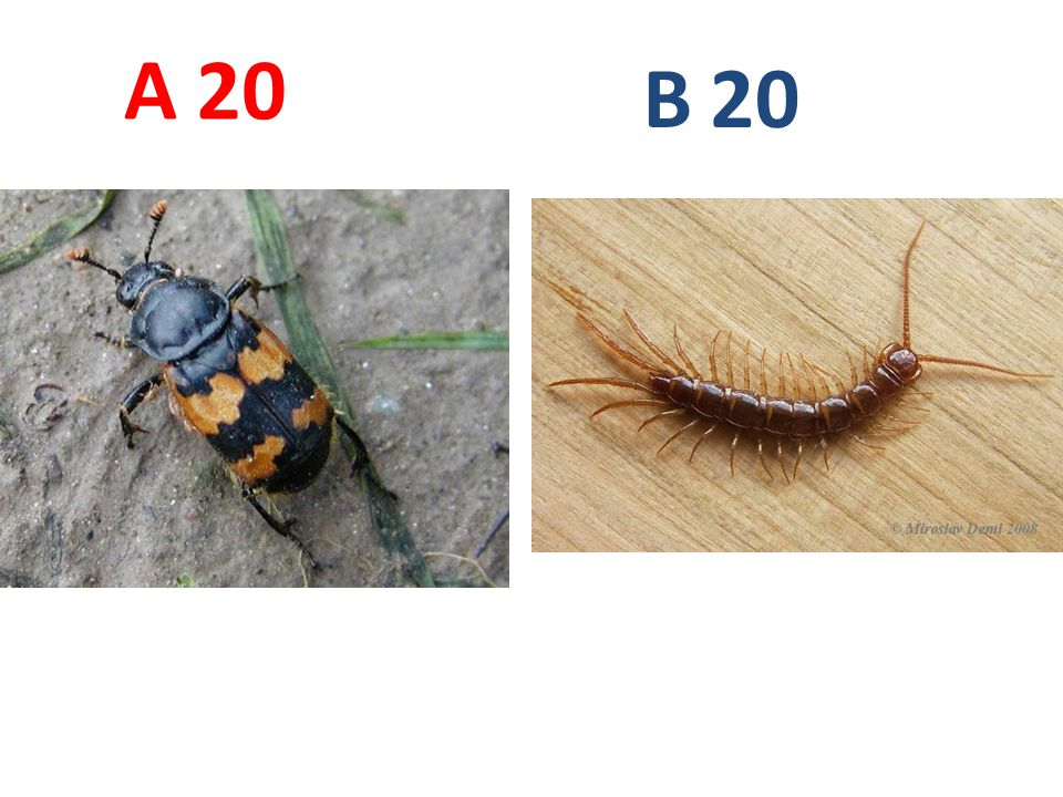 A B. 20. A20: hrobařík obecný, vzdušnicovci, hmyz, brouci, http://www.biolib.cz/IMG/GAL/190.jpg.