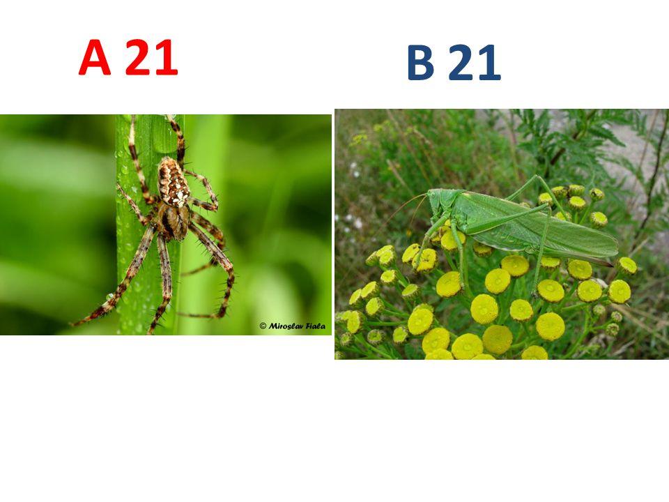 A B. 21. A21: křižák obecný, pavoukovci, pavouci, http://www.biolib.cz/IMG/GAL/68330.jpg.
