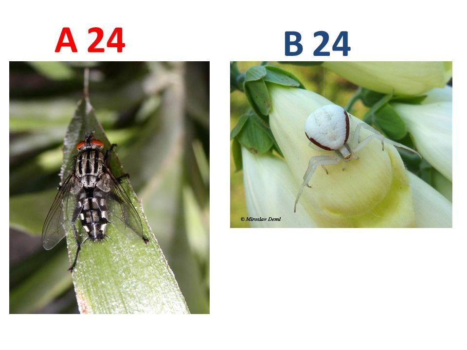 A B. 24. A24: masařka obecná, vzdušnicovci, hmyz, dvoukřídlí, http://www.biolib.cz/IMG/GAL/27015.jpg.