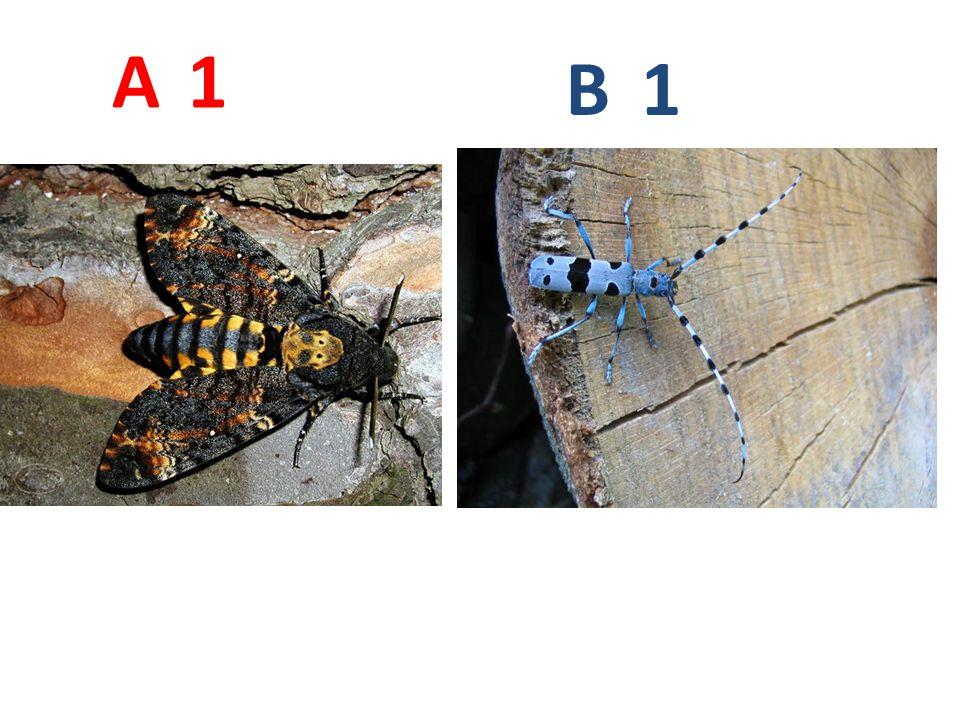 A B. 1. A1: lišaj smrtihlav, vzdušnicovci, hmyz, motýli, http://www.naturess.net/fotky/hmyz/mmmmmm_4.jpg.