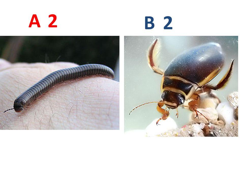 A B. 2. A2: mnohonožka, vzdušnicovci, mnohonožky, http://upload.wikimedia.org/wikipedia/commons/3/34/Cylinroiulus_caeruleocinctus_2.jpg.