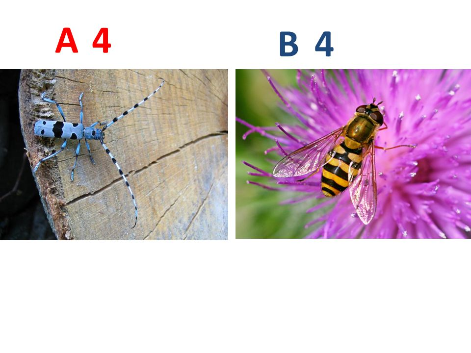 A B. 4. A4: tesařík alpský, vzdušnicovci, hmyz, brouci, http://www.biolib.cz/IMG/GAL/35307.jpg.