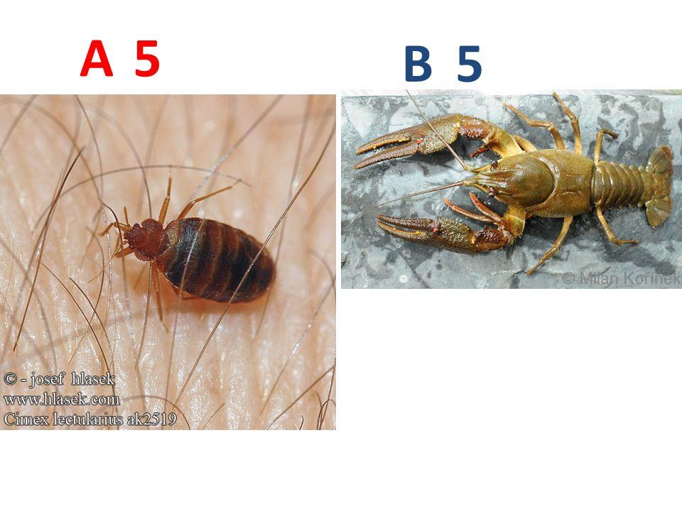 A B. 5. A5: štěnice domácí, vzdušnicovci, hmyz, ploštice, http://www.hlasek.com/foto/cimex_lectularius_ak2519.jpg.