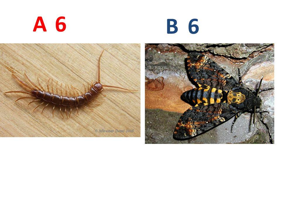 A B. 6. A6: stonožka škvorová, vzdušnicovci, stonožky, http://www.biolib.cz/IMG/GAL/64608.jpg.