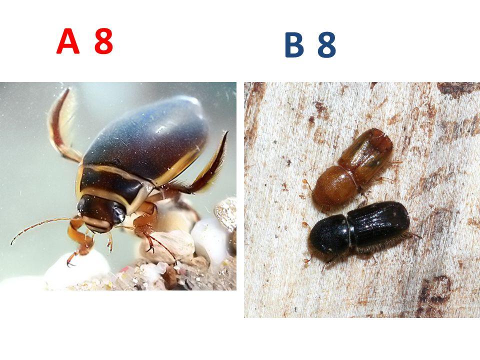 A B. 8. A8: potápník vroubený, brouci, http://www.biolib.cz/IMG/GAL/21872.jpg.