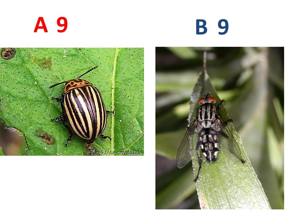 A B. 9. A9: mandelinka bramborová, brouci, http://www.biolib.cz/IMG/GAL/6977.jpg.