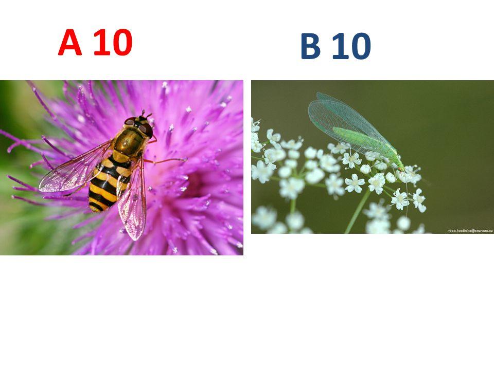 A B. 10. A10: pestřenka rybízová, dvoukřídlí, http://www.biolib.cz/IMG/GAL/38162.jpg.