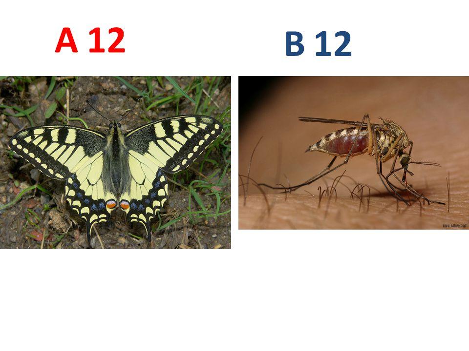 A B. 12. A12: otakárek fenyklový, motýli, http://www.biolib.cz/IMG/GAL/20368.jpg.