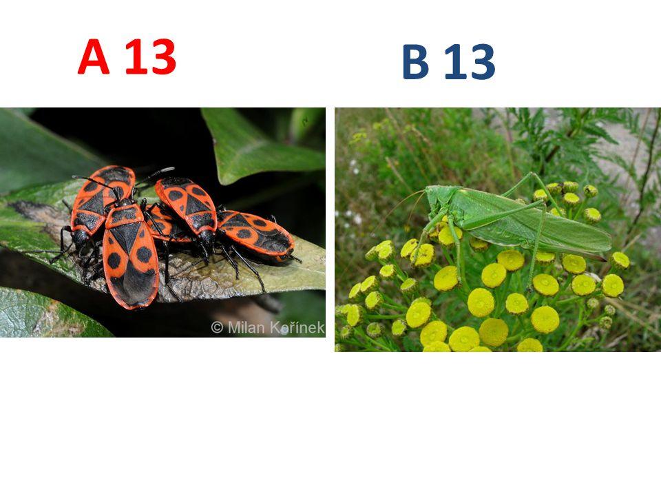A B. 13. A13: ruměnice pospolná, ploštice, http://www.biolib.cz/IMG/GAL/80959.jpg.