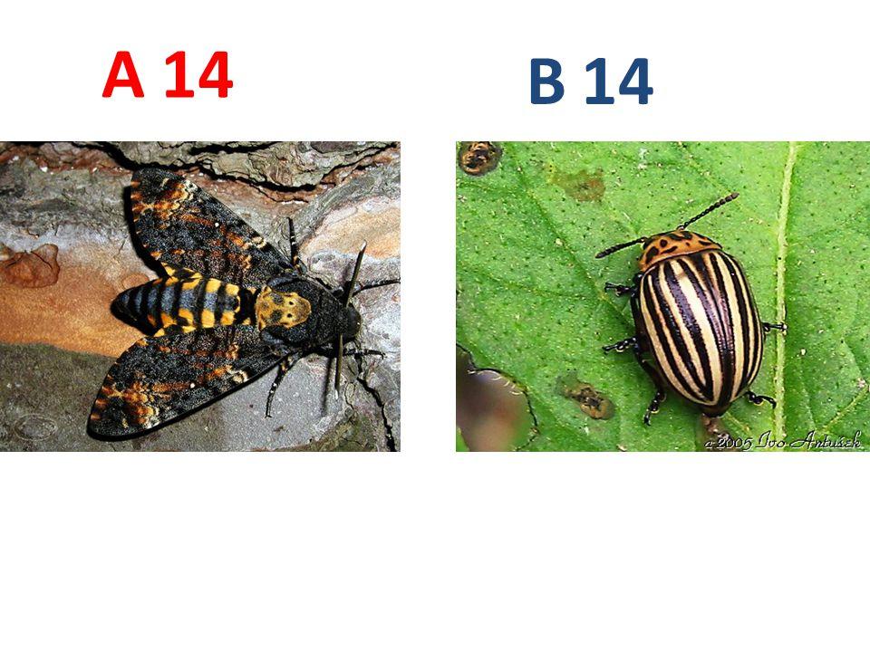A B. 14. A14: lišaj smrtihlav, motýli, http://www.naturess.net/fotky/hmyz/mmmmmm_4.jpg.