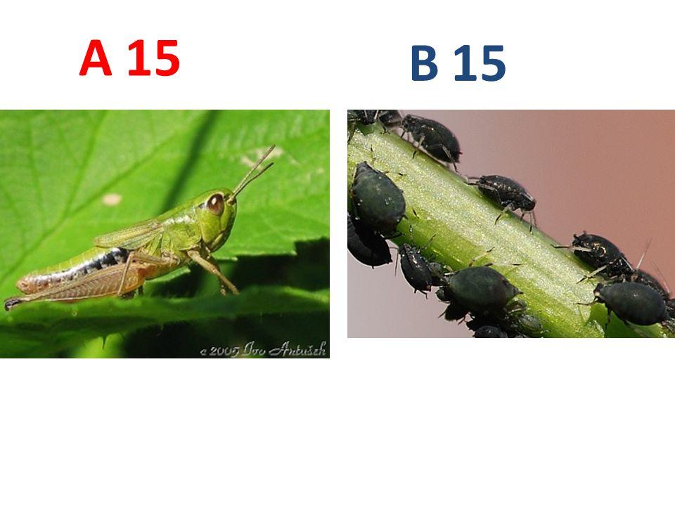 A B. 15. A15: saranče obecná, rovnokřídlí, http://www.biolib.cz/IMG/GAL/6789.jpg.