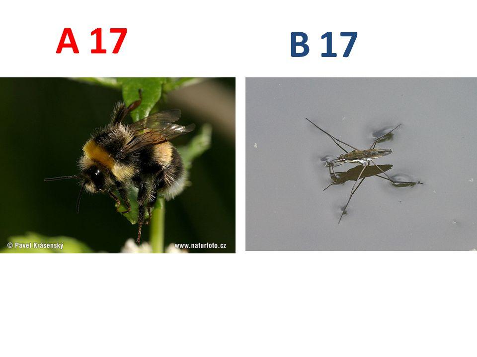 A B. 17. A17: čmelák zemní, blanokřídlí, http://www.naturfoto.cz/fotografie/krasensky/cmelak-zemni-0082.jpg.