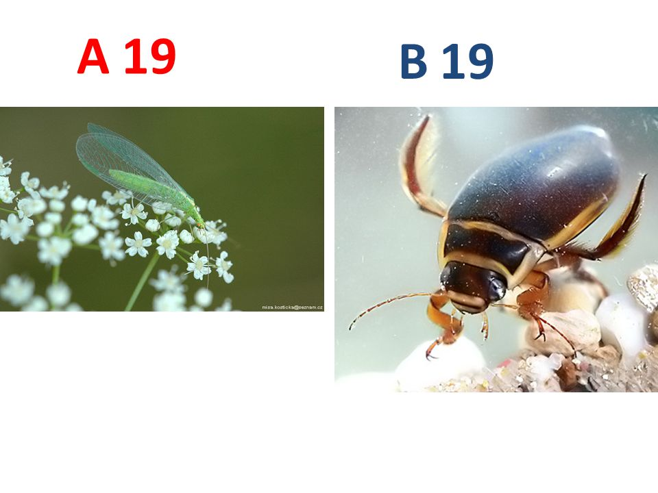 A B. 19. A19: zlatoočka obecná, síťokřídlí, http://www.biolib.cz/IMG/GAL/66956.jpg.