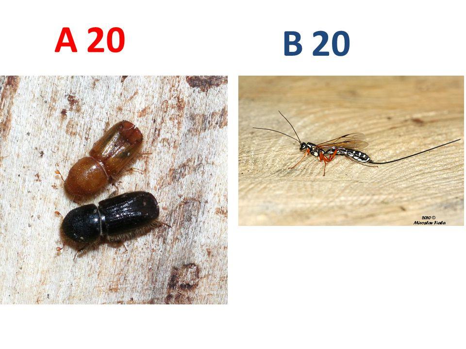 A B. 20. A20: lýkožrout smrkový, brouci, http://www.biolib.cz/IMG/GAL/48695.jpg.