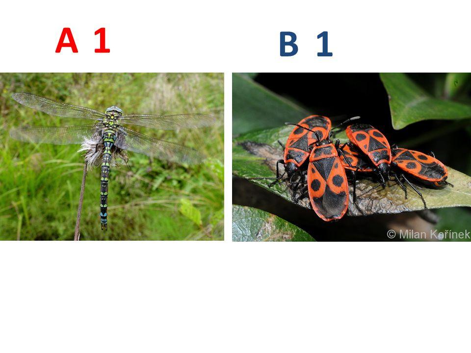 A B 1 A1: šídlo modré, vážky, http://www.biolib.cz/IMG/GAL/19020.jpg