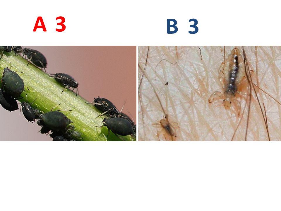 A B. 3. A3: mšice maková, stejnokřídlí, http://blog2.de/wp-content/uploads/2007/04/blattlaus2.jpg.