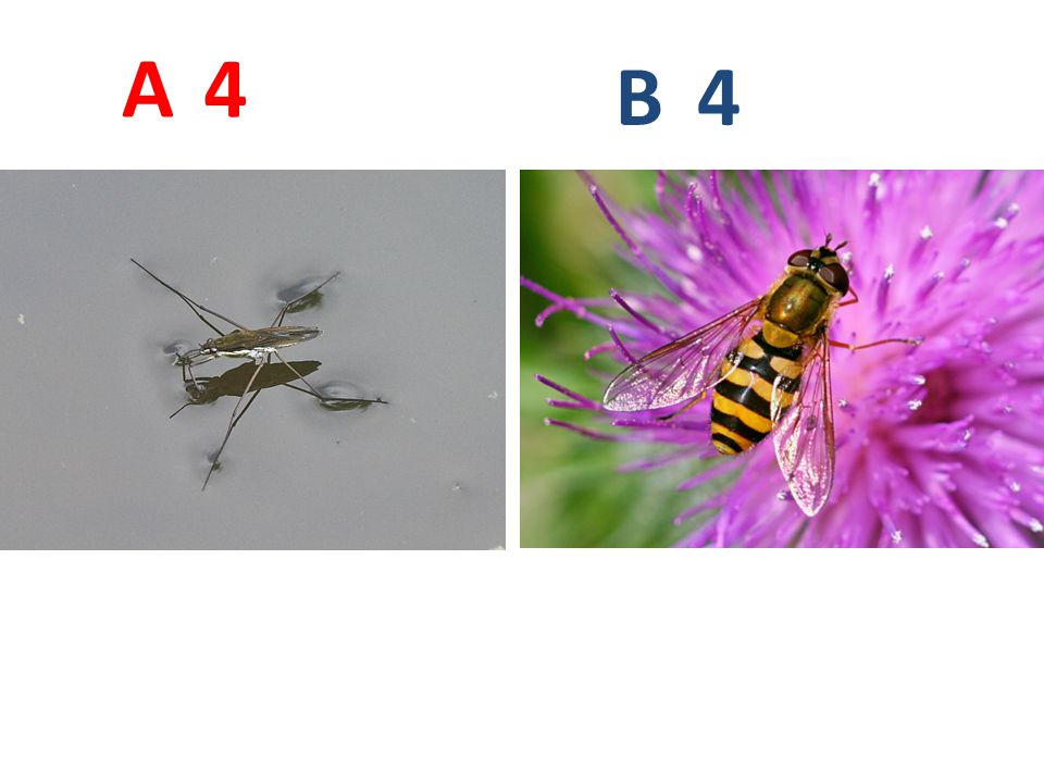 A B. 4. A4: bruslařka obecná, ploštice, http://www.jynx-t.net/priroda/Data/Images/Bruslarka-obecna.jpg.