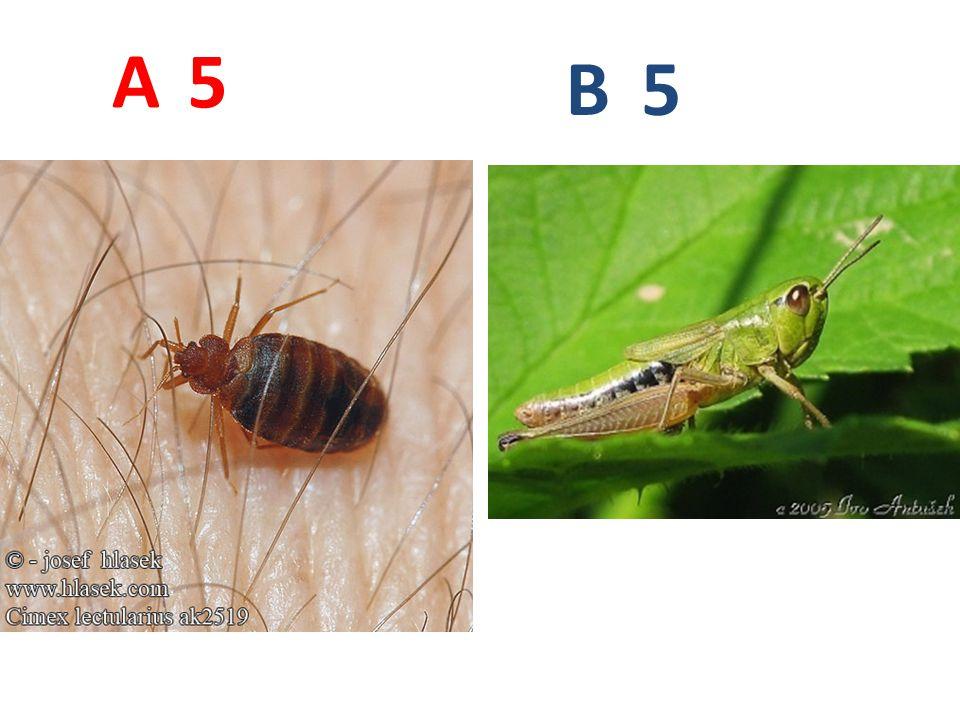 A B. 5. A5: štěnice domácí, ploštice, http://www.hlasek.com/foto/cimex_lectularius_ak2519.jpg.
