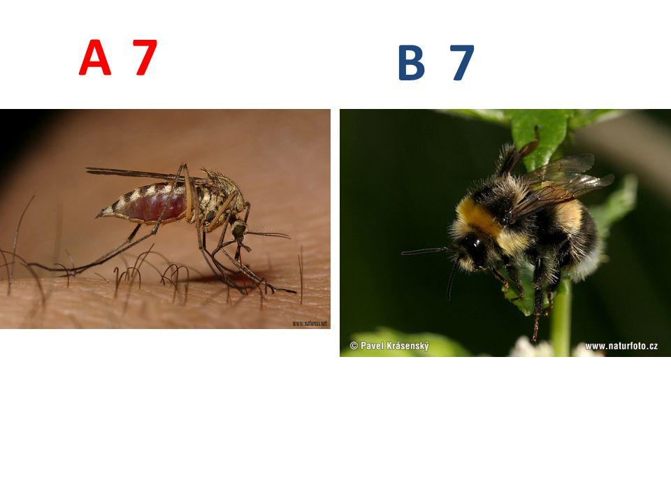 A B. 7. A7: komár pisklavý, dvoukřídlí, http://www.biolib.cz/IMG/GAL/30406.jpg.