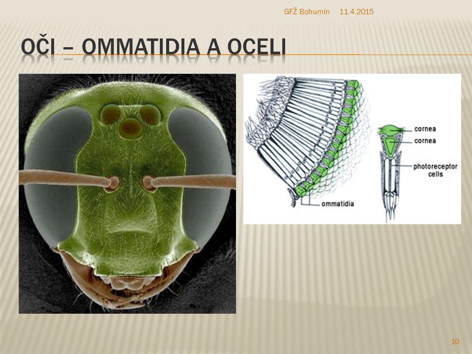 GFŽ Bohumín 10.4.2017 Oči – ommatidia a oceli