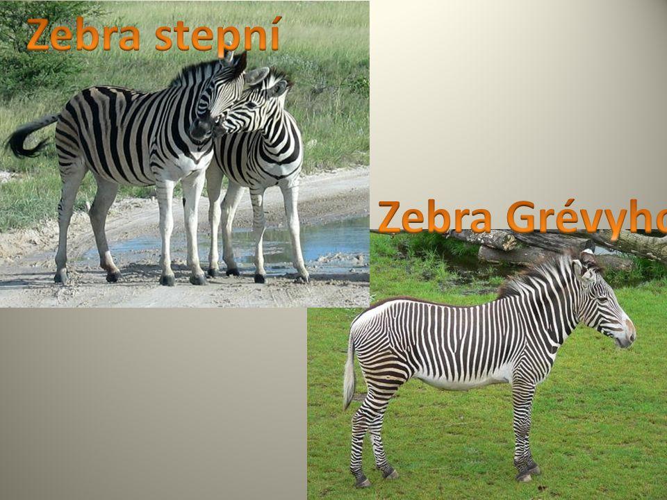 Zebra stepní Zebra Grévyho