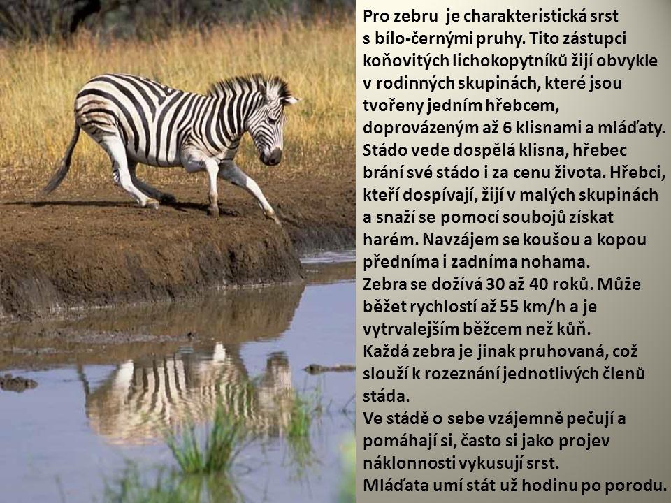 Pro zebru je charakteristická srst s bílo-černými pruhy