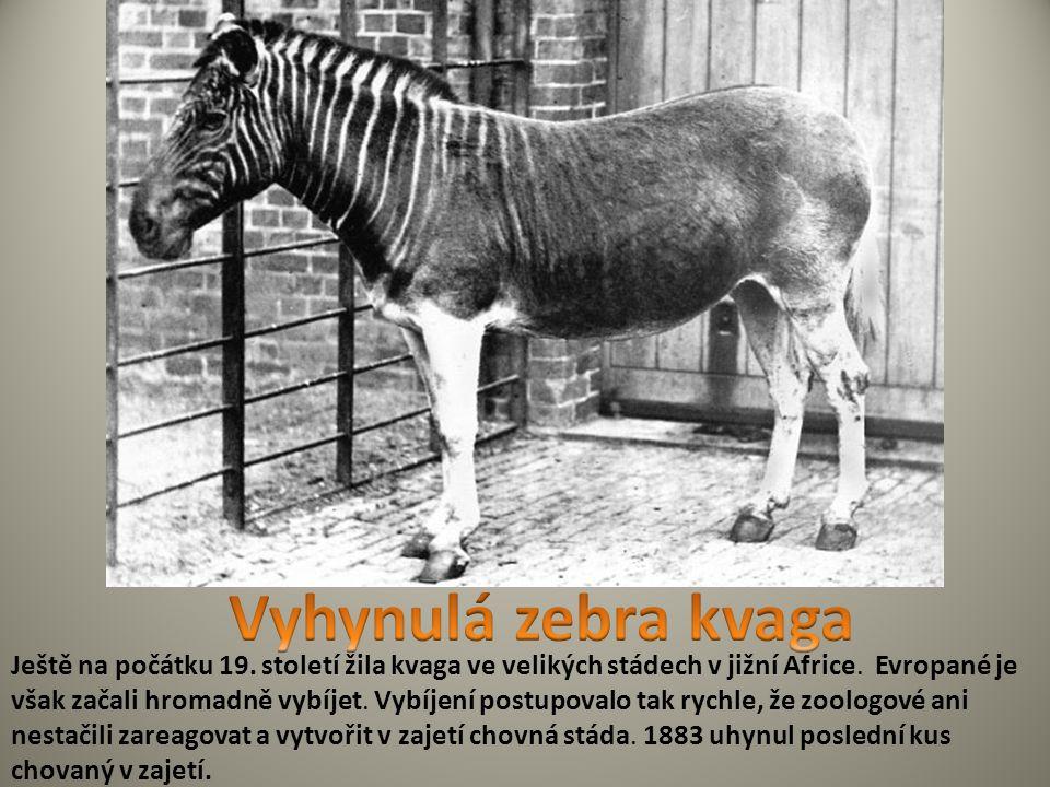 Vyhynulá zebra kvaga