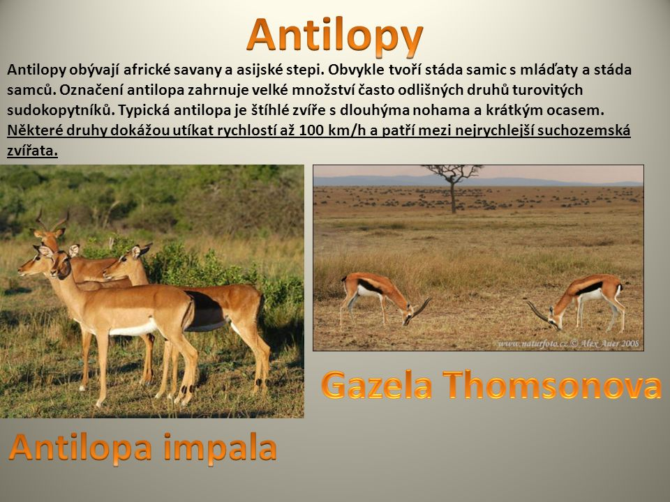 Antilopy Gazela Thomsonova Antilopa impala