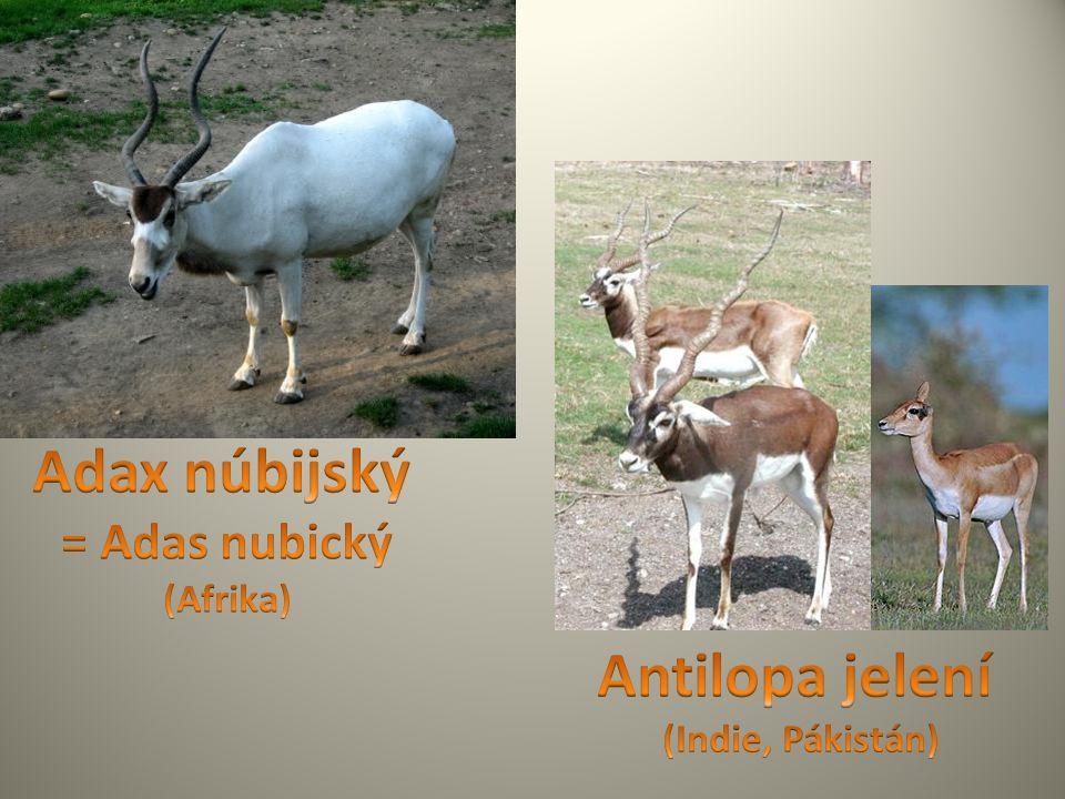 Adax núbijský = Adas nubický (Afrika)
