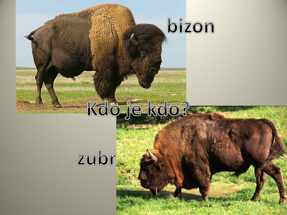 bizon Kdo je kdo zubr
