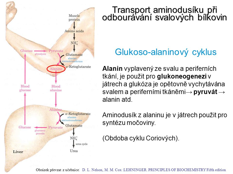 Transport aminodusíku při odbourávání svalových bílkovin