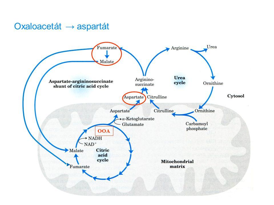 Oxaloacetát → aspartát