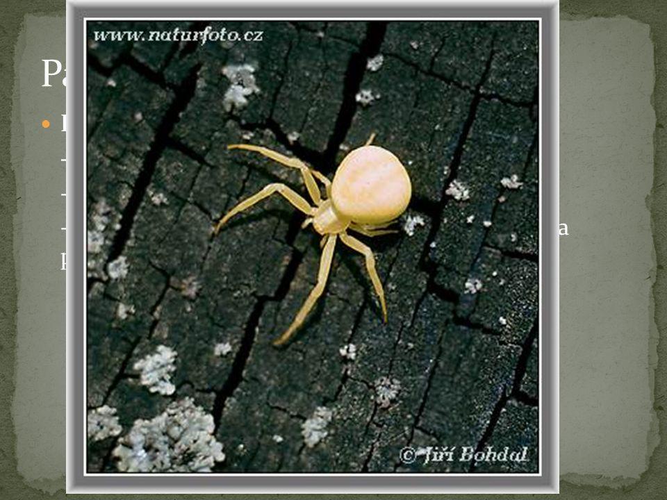 Pavouci - zástupci Běžník kopretinový - nestaví sítě