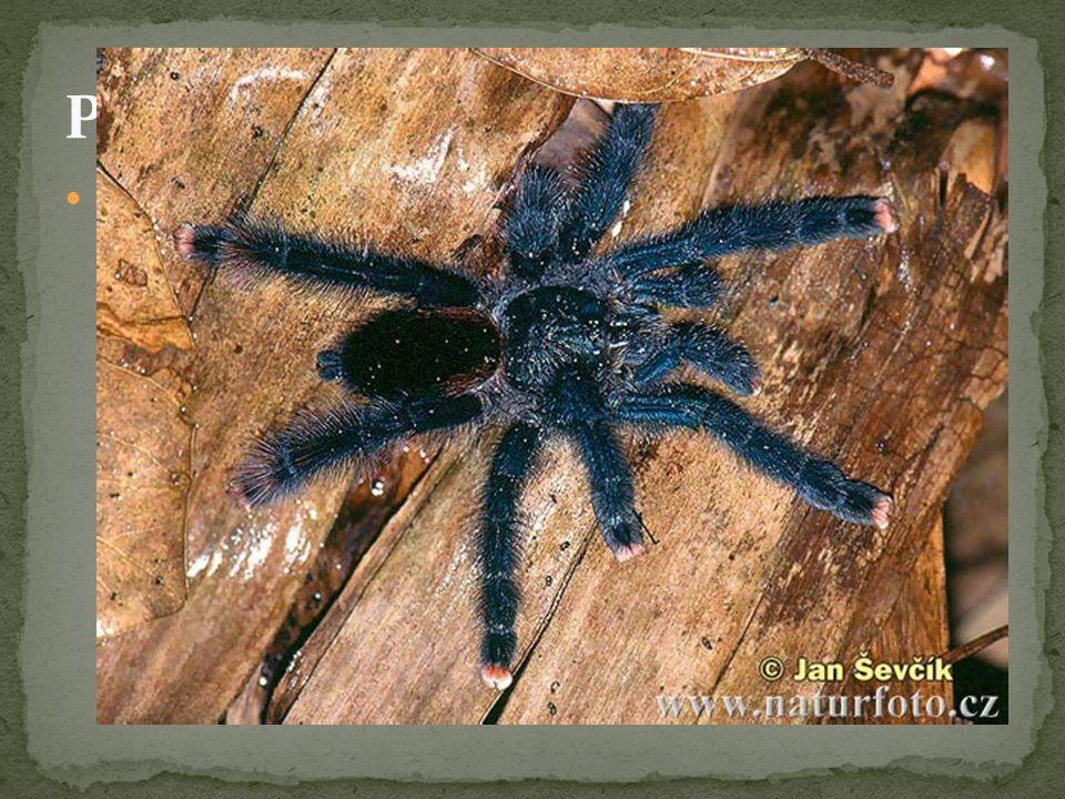 Pavouci - zástupci Sklípkani