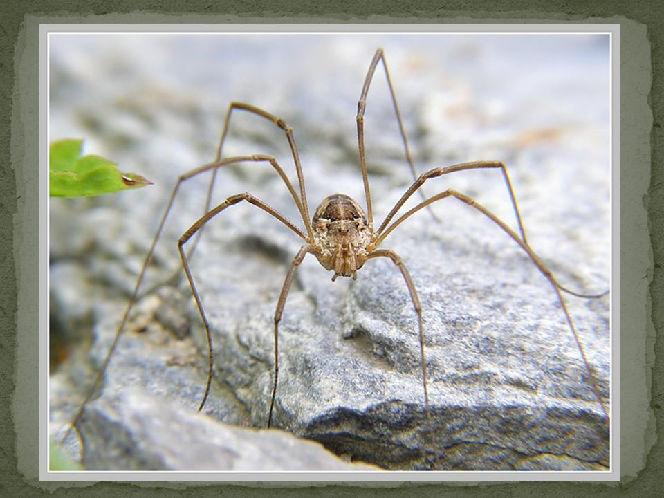 Sekáči Podobají se pavoukům, ale chybí jim tenká stopka mezi hlavohrudí a zadečkem.