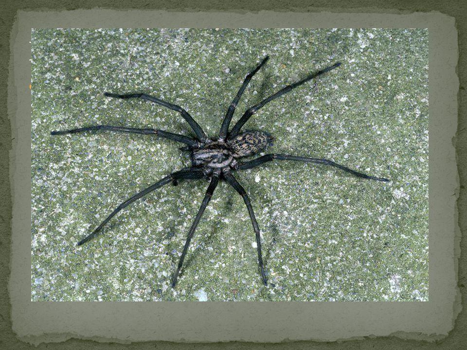 Pavouci - zástupci Pokoutník domácí - v lidských obydlích si v rozích místností vytváří vodorovné pavučiny.