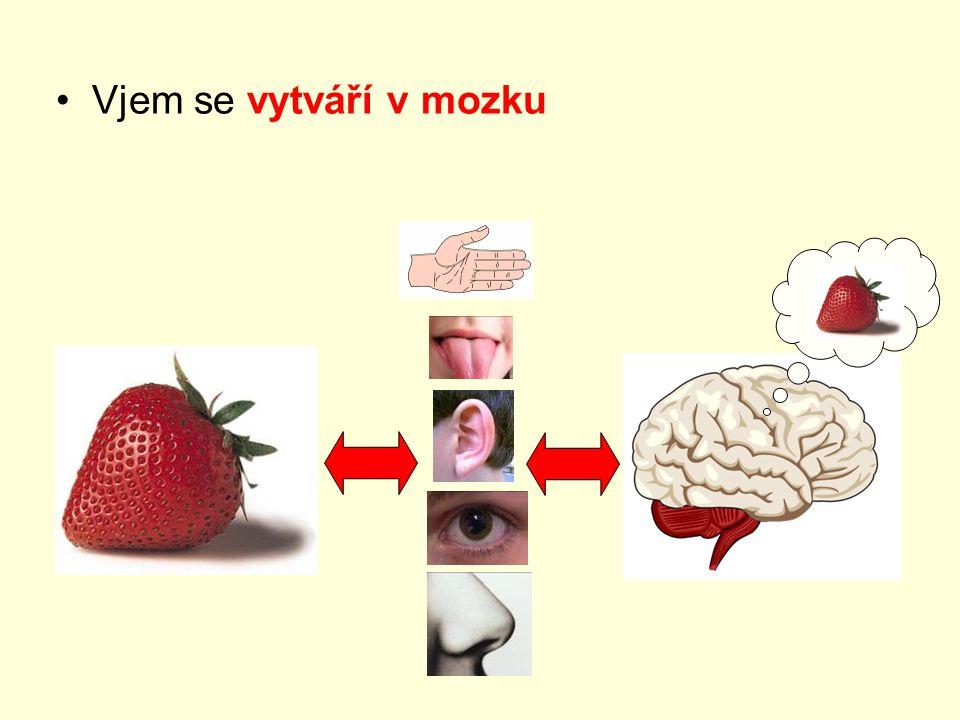 Vjem se vytváří v mozku