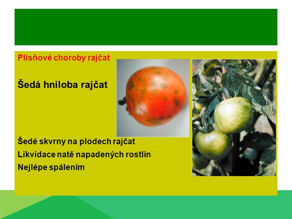 Šedá hniloba rajčat Plísňové choroby rajčat